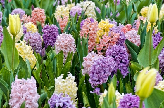Marie bolton 6 spring flowering bulbs that you must start planting 6 spring flowering bulbs that you must start planting now mightylinksfo